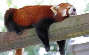 Картинка язык, сон, спит, красная панда, бревно, firefox, малая панда