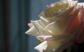 Картинка роза, белая, полумрак