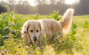 Картинка поле, свет, цветы, Собака, лабрадор