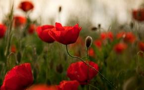 Обои маки, блики, поле, красные