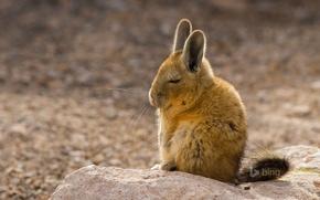 Картинка мех, уши, грызун, Южная Америка, млекопитающее, горная вискаша