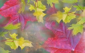Картинка осень, листья, природа, туман, дымка, клен