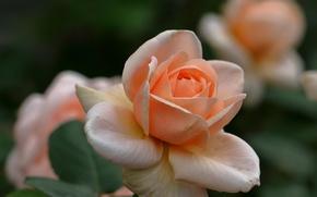 Обои роза, лепестки, бутон, боке