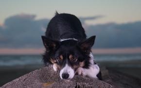 Картинка взгляд, морда, камень, собака