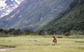 Обои медведь, горы, наблюдение, стойка, пейзаж, лес