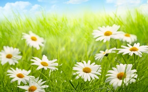 Картинка небо, облака, природа, ромашки, grass, травка, цветочки, sky, nature, flowers, clouds, chamomile
