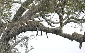 Картинка дерево, отдых, леопард, большая кошка