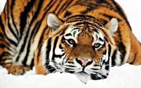 Картинка зима, снег, Тигр, лежит