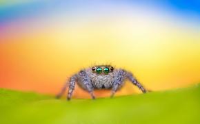 Картинка spider, macro, jumping, bagheera kiplingi