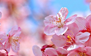 Обои цветки, макро, природа, вишня, сакура, цветение