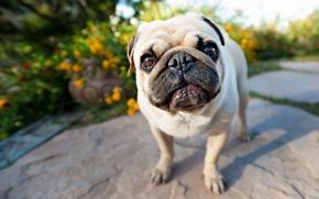 Картинка собака, взгляд, мопс