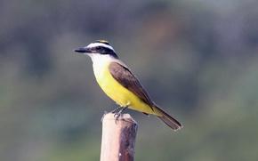Картинка Wood, Yellow, Bird, Beak, Eye, Bem-Te-Vi