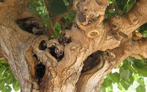Картинка листва, Дерево, Греция, кора, чудовище, коряги, дупла