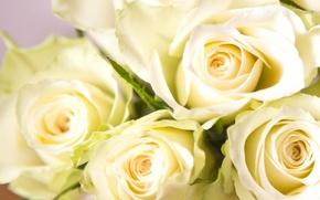 Картинка макро, розы, бутоны, белые розы