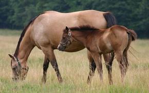 Обои трава, лошадь, пастбище, жеребенок