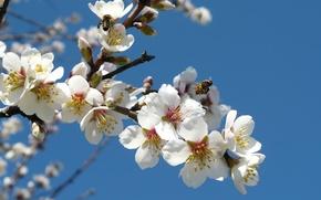 Картинка цветы, пчелы, белые