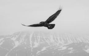 Картинка flying, crow, flight, winter, mountain, snow, fog, mist