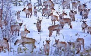 Картинка зима, снег, стадо, Финляндия, северные олени, Оулу