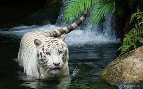 Картинка кошка, tiger, белый тигр, тигр, white tiger