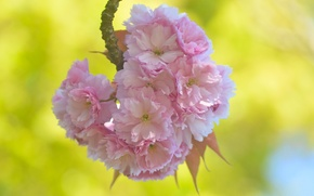 Картинка цветки, макро, ветка, сакура, вишня, цветение, весна
