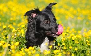 Картинка поле, язык, цветы, жёлтый, чёрный, собака, зелёный, лютики, облизывает
