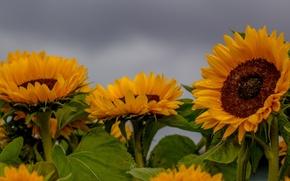 Картинка поле, подсолнухи, солнышки