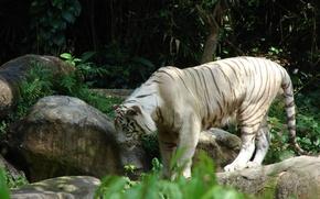 Картинка кошка, белый, тигр, камни, большая