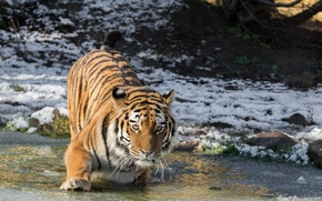 Обои хищник, снег, холод, зима, морда, водоём, лапа, дикая кошка, лёд, амурский тигр