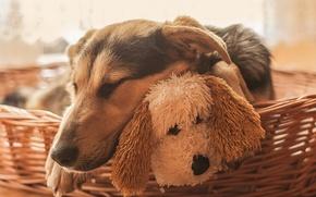 Картинка собаки, морда, игрушка, сон, собака, спящая