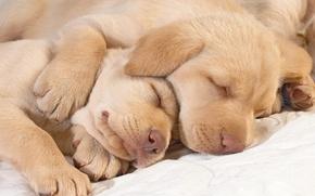 Обои лабрадор, спят, носы, лапы, щенки