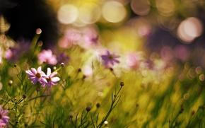 Картинка цветы, природа, растения, размытость, боке
