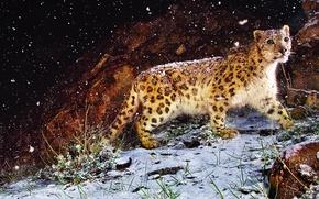 Картинка трава, взгляд, снег, ночь, камень, картина, леопард, зверь