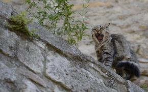 Картинка кошка, кот, злюка