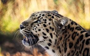 Картинка усы, взгляд, морда, хищник, леопард