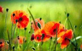 Картинка зелень, трава, цветы, красный, природа, маки