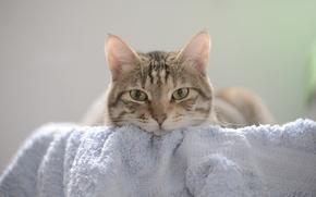 Обои кошка, кот, взгляд, полотенце, мордочка