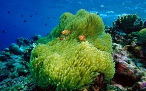 Картинка море, актиния, кораллы, океан, рыба-клоун