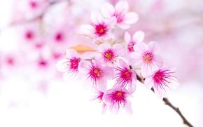 Картинка вишня, ветка, весна, цветущая