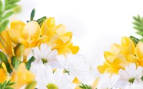 Обои листики, белые хризантемы, цветы