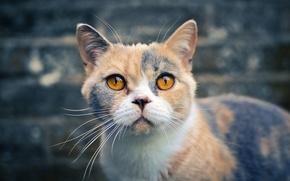 Картинка кошка, взгляд, Британская короткошёрстная