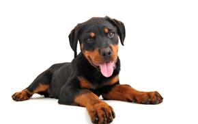 Картинка Собака, Ротвейлер, Щенок, Rottweiler