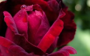 Картинка роза, размытость, бордовая