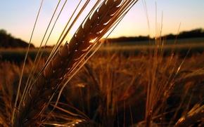 Обои поле, закат, Колос