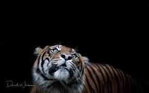 Обои зверь, тигр, кошка