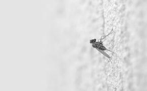 Картинка Белый, комар