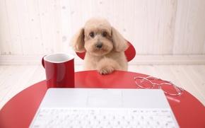 Обои собака, пудель, стол, компьютер