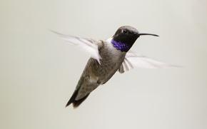 Картинка bird, flight, wings, hummingbird