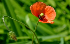 Обои макро flowers природа, мак, цветок