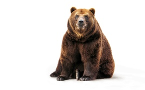 Обои медведь, белый фон, шерсть, сидит, бурый, лапы, морда