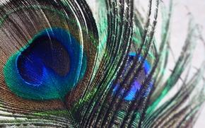 Картинка nature, bird, macro, color, wild, feather, india, peacock, swaroop